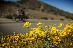 A bicyclists pass wild flowers blooming along Lakeshore Road on Friday, March 20,2014. The Lake Mead National Recreation Area is a blooming with wildflowers on the first day of spring.(Jeff Scheid/Las Vegas Review-Journal)